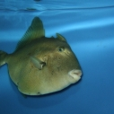 finescale triggerfish