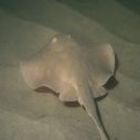Stingray, Santa Monica Pier Aquarium, ocean