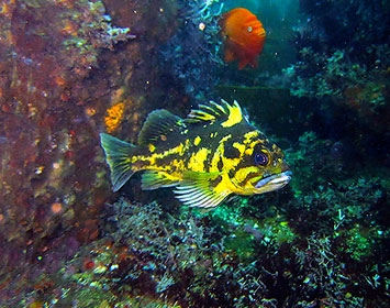 Black & Yellow Rockfish and a Garibaldi in the reef