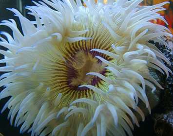 Santa Monica Pier Aquarium Sea Anemone