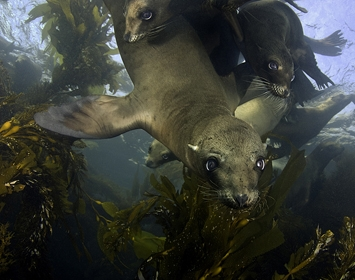 Richard Salas sea lions underwater photography kelp forest earth day aquarium