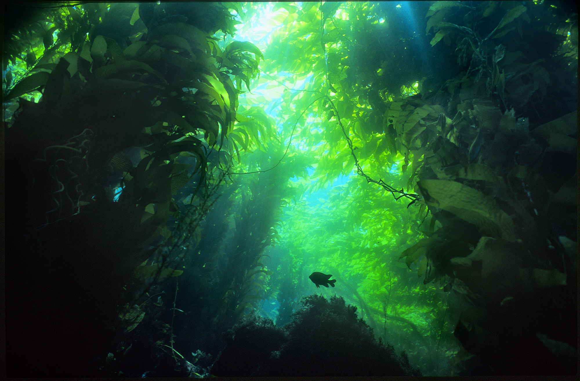 kelp forest, ocean, underwater parks day, santa monica pier aquarium, mpa