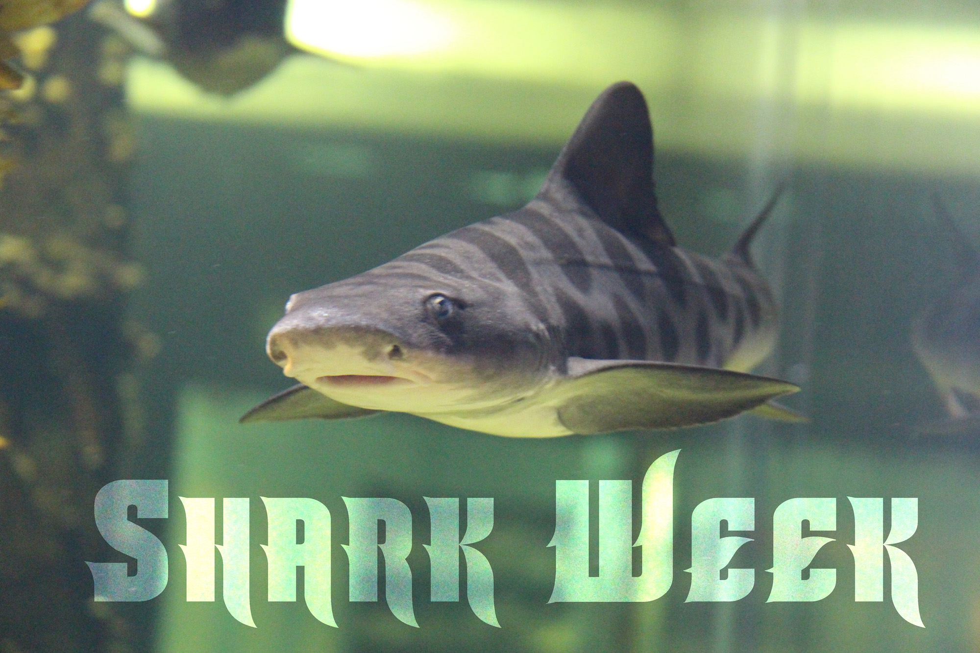 Shark Week at the Aquarium!