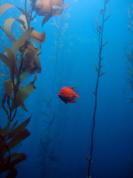 Marine Protected Area Garibaldi in Kelp Forest