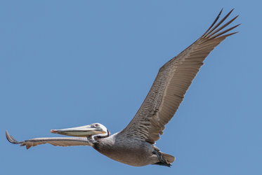 Brown Pelican by iNaturalist user @glmory