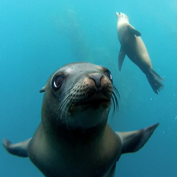 Sea Lion checking out diver in Santa Barbara Island's Marine Protected Area MPA