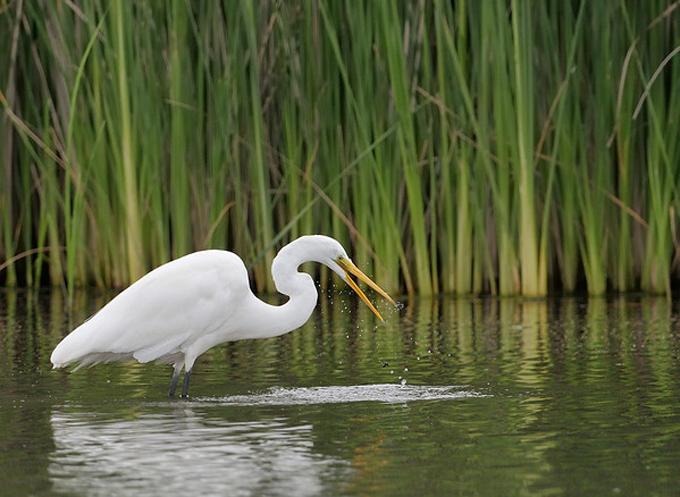 Ballona Wetlands egret