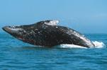 Whale of a Weekend at the Santa Monica Pier Aquarium Gray Whales