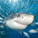 white shark in school of fish