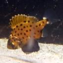 Baby giant black sea bass at the Santa Monica Pier Aquarium