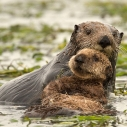 Otters at Elkhorn Slough,  © CindyTucey