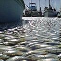 Fish Kill, King Harbor. Photo: Los Angeles Times
