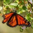Monarch butterfly by Kelly Vampola