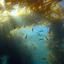 Kelp Forest at Anacapa Island