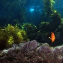 Cobalt Forest MPA Melvin Moncrieff Marine Protected Area Oceans Garibaldi