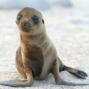 Sea Lion pups stranded Southern California coast marine mammal center Malibu