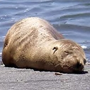 Stranded Sea Lion