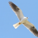 white-tailed kite compton creek habitat watershed Heal the Bay education