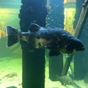 Santa Monica Pier Aquarium's New Giant Sea Bass