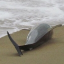 Mass Dolphin Strandings on the North Coast of Peru