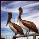 Giving Tuesday charity thanks heal the bay donate pelicans seahorses