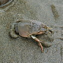 Pacific Mole Crab (sand crab) burrowing itself
