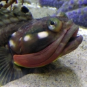 Sarcastic Fringehead available for aquadoption Santa Monica Pier Aquarium