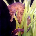 Seahorses available for Aquadoption at Heal the Bay for Father's Day, grads