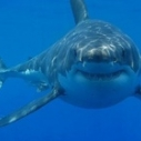 white shark california endangered species list fish and game commission pacific