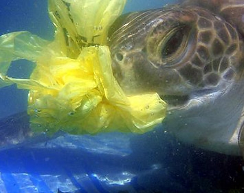 Juvenile green turtle eating a plastic bag
