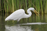 An egret in the wetlands.